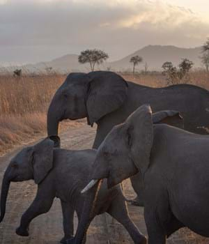 Elephant herd in the African Savannah