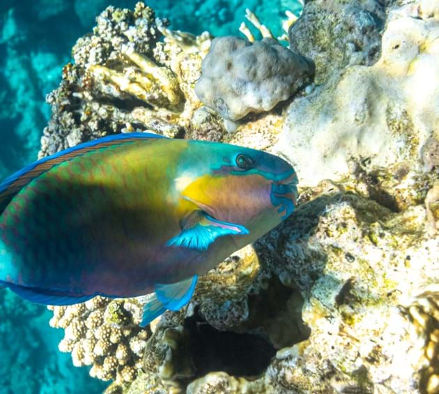 Parrotfish in coral reef