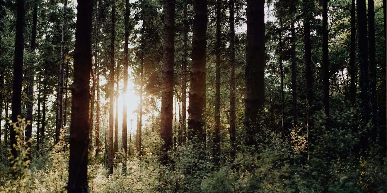 Sunlight shining through dense forest