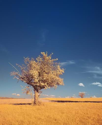 Tree in a field of yellow grass