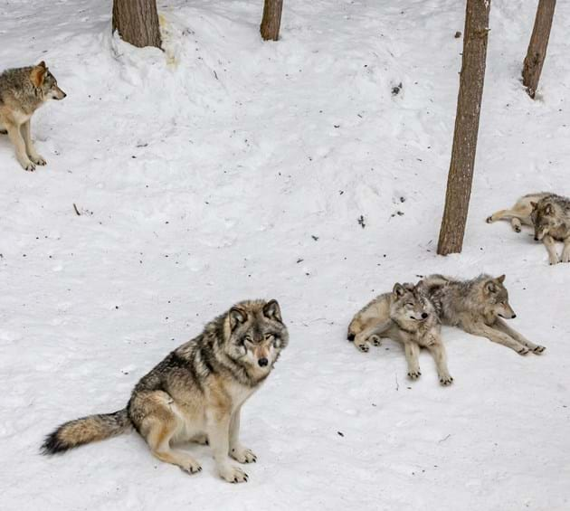 Wolves in Yellowstone, USA