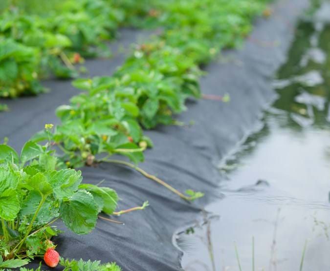 Strawberries in field