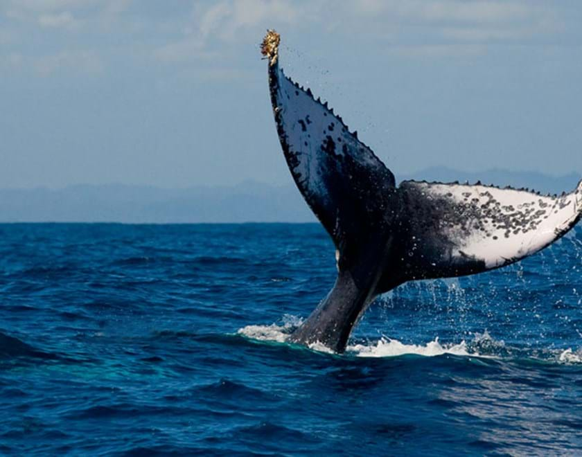 A whale tail above the ocean surface