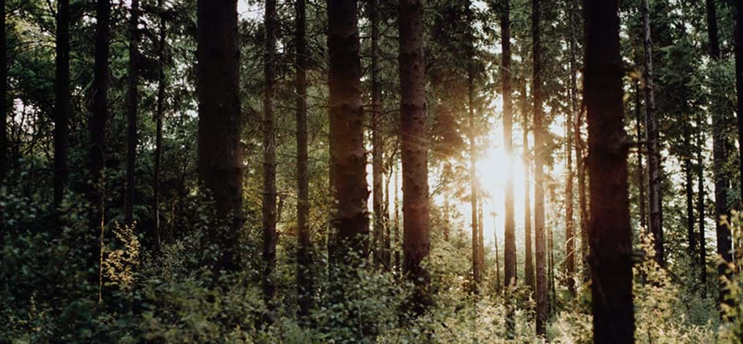Sunlight shining through dense forest