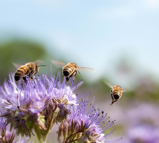 Honeybees on flowers