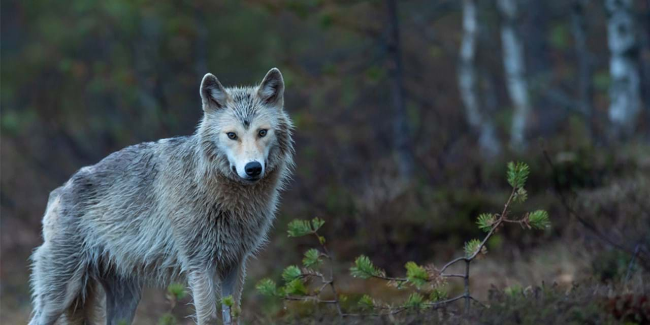 A Finnish wolf in a forest